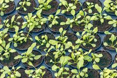 Plantas jovenes de Rucola, cohetes jovenes, brotes de Rucola, almácigos de la primavera Vehículo sano foto de archivo libre de regalías