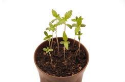 Plantas jovenes del cáñamo Imagenes de archivo