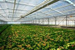 Plantas jovenes del hydrangea imagen de archivo