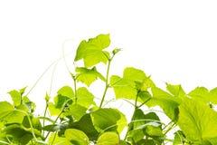 Plantas jovenes del pepino Fotos de archivo