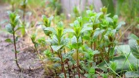 Plantas jovenes verdes de la menta y del toronjil que se sacuden en el viento de la primavera en el jardín almacen de video
