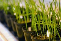 Plantas jovenes y frescas de la avena/del trigo Imagenes de archivo