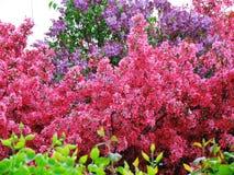 Plantas lilás mindinhos e roxas Fotografia de Stock Royalty Free