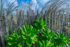 Plantas litorais Imagens de Stock