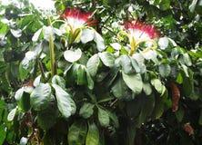 Plantas médicas em Brasil imagens de stock royalty free