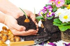 Plantas, manos, suelo de rellenado, bulbo de flor Fotografía de archivo