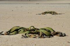 Plantas marchitadas en desierto Imagenes de archivo
