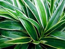 Plantas maternales, pantano Shui, afortunado fotos de archivo