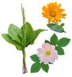 Plantas medicinales aisladas Imagen de archivo libre de regalías