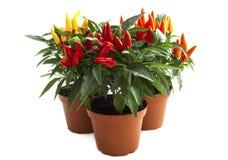 Plantas misturadas da pimenta Imagem de Stock