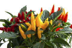 Plantas misturadas da pimenta Imagens de Stock Royalty Free