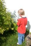 Plantas molhando da framboesa do rapaz pequeno foto de stock royalty free