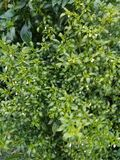 Plantas muito agradáveis dos pimentões em áreas rurais imagens de stock