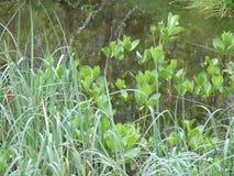 Plantas na água fotografia de stock royalty free
