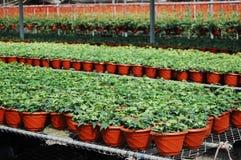Plantas na casa verde Fotografia de Stock Royalty Free