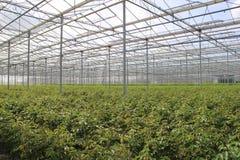 Plantas na estufa holandesa Imagem de Stock Royalty Free