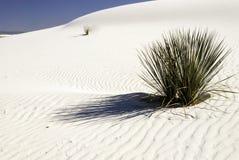 Plantas nas areias do branco - 2 da mandioca Imagem de Stock