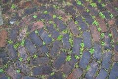 Plantas nas diferenças entre tijolos Fotografia de Stock