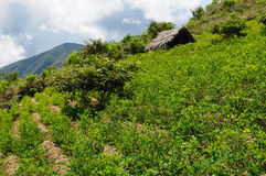 Plantas nas montanhas de Andes, Bolívia da coca Imagens de Stock Royalty Free