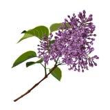 Plantas naturales decorativas hermosas, rama de la lila con las hojas aisladas ilustración del vector