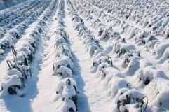 Plantas nevado do alho-porro em um campo holandês Fotos de Stock Royalty Free