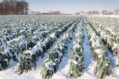 Plantas nevado do alho-porro em um campo holandês Imagem de Stock