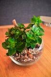 Plantas no vidro, potenciômetro natural de Kalanchoe do estilo imagem de stock