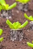 Plantas novas da alface em uma estufa Fotos de Stock