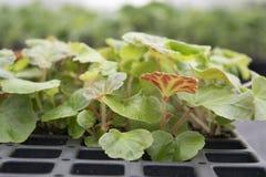 Plantas novas da begônia tuberosa em uma bandeja Fotos de Stock