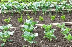 Plantas novas da couve em um remendo do jardim vegetal Fotografia de Stock Royalty Free