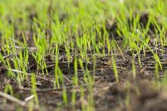Plantas novas da grama, close-up Foto de Stock Royalty Free
