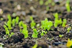 Plantas novas de ervilhas verdes fotografia de stock royalty free