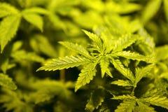 Plantas novas do cannabis imagem de stock royalty free
