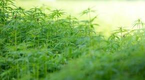 Plantas novas do cannabis fotos de stock
