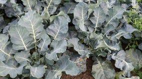 Plantas novas dos brócolis vistas de cima de Imagem de Stock