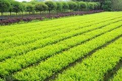 Plantas novas e árvores do Osmanthus Fotografia de Stock