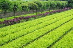 Plantas novas e árvores do Osmanthus Imagem de Stock Royalty Free
