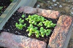 Plantas novas frescas da manjericão Fotografia de Stock Royalty Free