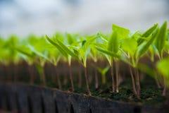 Plantas novas na estufa Foto de Stock Royalty Free