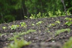 Plantas novas na terra Fotografia de Stock