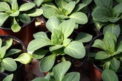 Plantas novas no potenciômetros Foto de Stock