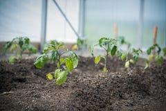 Plantas novas que crescem em uma estufa imagens de stock royalty free