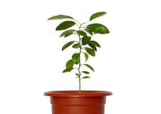 Plantas novas verdes no potenciômetro. Fotos de Stock