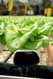 Plantas orgânicas de Hydrophonic Imagem de Stock Royalty Free