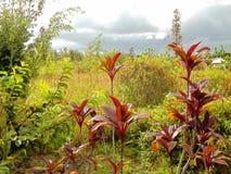 Plantas originais na ilha grande de Havaí Imagem de Stock