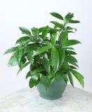 Plantas ornamentales Foto de archivo