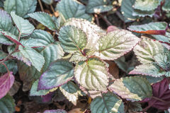 Plantas ornamentales, alternata rojo Burm de la hiedra-Hemigraphis de la llama f Imagen de archivo libre de regalías
