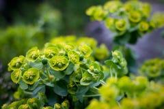 Plantas ornamentales amarillas Fotos de archivo
