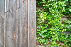 Plantas ornamentales de madera y verdes, hiedra verde Espacio para el texto o la imagen Textura del fondo natural Fotografía de archivo libre de regalías