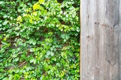 Plantas ornamentales de madera y verdes, hiedra verde Espacio para el texto o la imagen Textura del fondo natural Imágenes de archivo libres de regalías